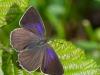 purple-hairstreak-620